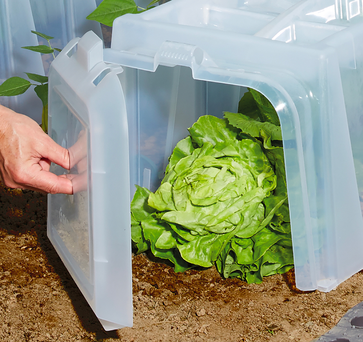 photo of lettuce protector, demonstrating it used in context